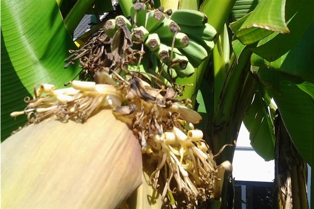 Luigi parvient faire pousser des bananes dans son jardin - Faire pousser des bananes ...
