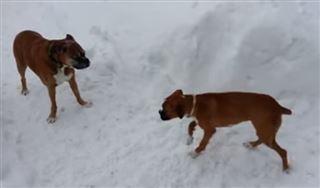 Ce vieux chien joue un tour à plus jeune que lui- de quoi le rendre chèvre (vidéo) 23