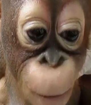 Retenu prisonnier pendant un an dans une cage à poule, ce bébé orang outan réapprend à marcher (vidéo) 19