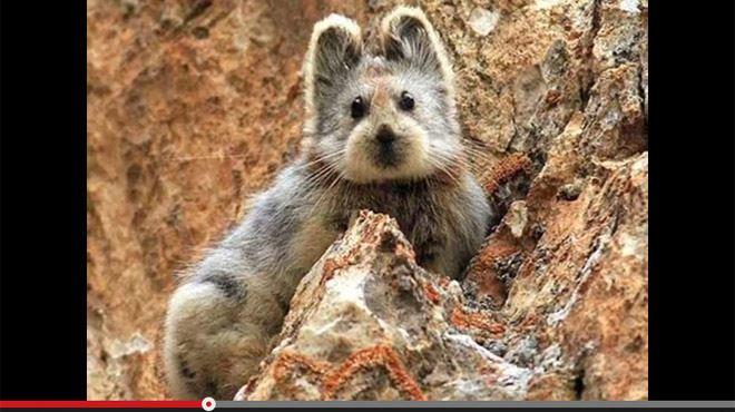Cet animal adorable est extrêmement rare- il n'avait plus été aperçu depuis 20 ans ! 22