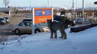 Rencontre avec un lynx en plein centre-ville (vidéo) 19