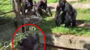 Une gorille sauve sa soeur tombée dans une fosse (vidéo) 24