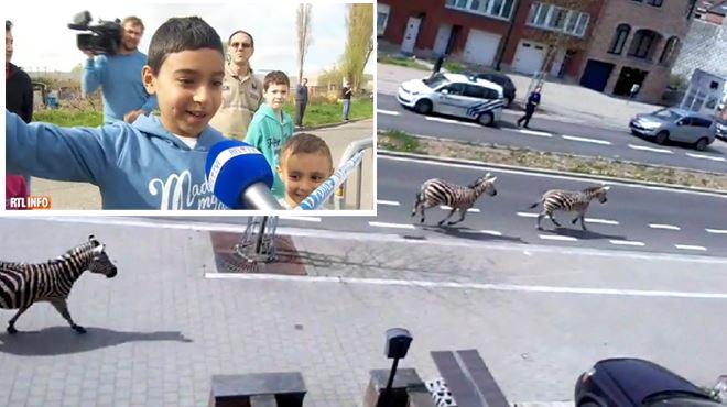Quatre zèbres en liberté à Bruxelles- les enfants, ravis par la scène, racontent (vidéo) 1