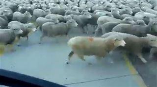 Impressionnant- un énorme troupeau de moutons envahit une route (vidéo) 18