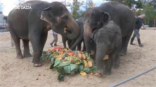 Expédition Pairi Daiza- voici la belle surprise réservée à la famille d'éléphants pour sa première sortie devant le public (vidéo) 2
