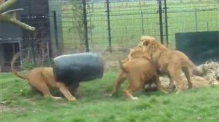 Un lion se coince la tête dans un tonneau et n'arrive pas à se libérer (vidéo) 24