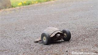 Attaquée par un rat, cette tortue se déplace maintenant sur des roulettes (vidéo) 14