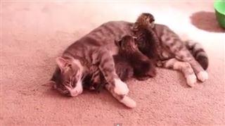 Adorable- cette chatte vient de perdre ses bébés, et adopte trois chatons orphelins (vidéo) 15