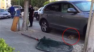 Une otarie retrouvée en train de se balader dans la rue (vidéo) 7