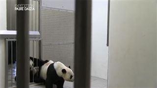 Expédition Pairi Daiza- moment unique de rapprochement entre les deux pandas, Xing Hui et Hao Hao (vidéos) 2