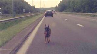 Un chien errant oblige la police à fermer la E411- l'histoire se termine mal pour l'animal 4