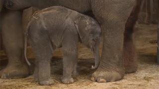 L'éléphantelle de Pairi Daiza tombe littéralement de fatigue (vidéo) 11