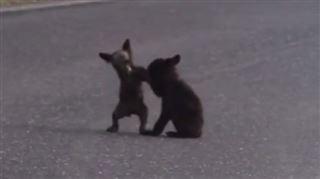 La bagarre de deux oursons amuse les internautes (vidéo) 5