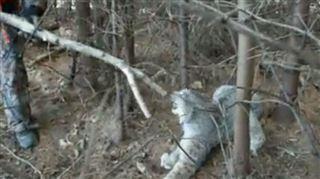 Un lynx est attrapé par un piège- deux hommes prennent tous les risques pour le délivrer (vidéo) 3