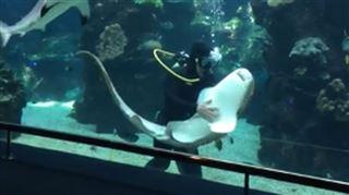 Un requin se prend pour un chien et profite d'un gros câlin (vidéo) 5