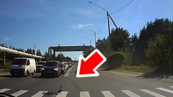 Une file interminable de voitures attend patiemment que ces canards traversent le passage piéton (vidéo) 6