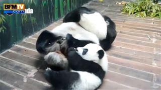 Ces triplés pandas s'éclatent comme des fous (vidéo) 24