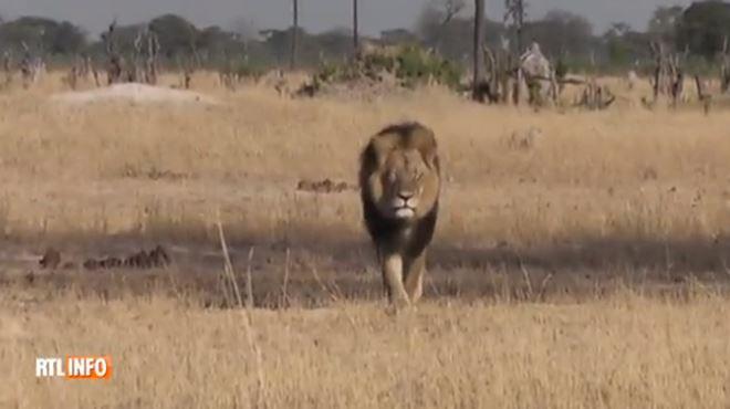 Mort du mythique lion Cecil au Zimbabwe- le chasseur ne savait pas qu'il s'agissait d'une célébrité locale 1