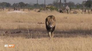 Mort du mythique lion Cecil au Zimbabwe- le chasseur est un riche dentiste américain 5