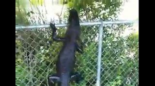 Insolite - un alligator escalade une grille pour s'enfuir (vidéo) 13