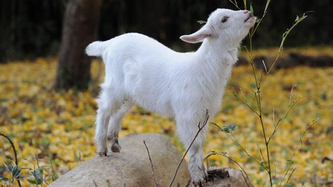 Vous pourriez bientôt voir des chèvres et des moutons dans les cimetières de Charleroi